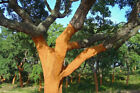 Cork oak seeds 5 100 QUERCUS SUBER cerris fresh bonsai acorns suberin seed