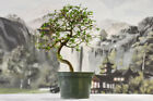 Gorgeous Twisted Trunk CHINESE ELM Pre Bonsai Tree thats cold hardy