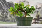Gorgeous GREEN ISLAND FICUS Pre Bonsai Tree with ornamental figs