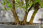 Beautiful WILLOW LEAF FICUS Pre Bonsai Tree with Three Tree Mini Forest