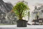 Beautiful Shohin WILLOW LEAF FICUS Pre Bonsai Tree with large nebari