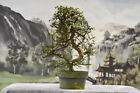 Gorgeous Large IMPORT CHINESE ELM Pre Bonsai Tree thats cold hardy