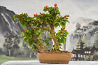 Beautiful Flowering HELEN JOHNSON BOUGAINVILLEA Bonsai Tree with Red Flowers