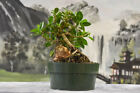 Root over Rock Green Island Ficus pre Bonsai Tree Great for Indoors