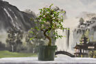 Twisted Trunk CHINESE ELM Pre Bonsai Tree Cold Hardy Ships safely in winter