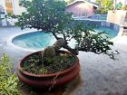 RARE FUKIEN 19yrs old MONSTER TEA BONSAI TREE CASCADE LITERAL STYLE