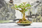 Incredible Nebari on Shohin WILLOW LEAF FICUS Bonsai Tree with tiny leaves