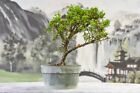 NO CALI SHIPPING Cold Hardy SHIMPAKU JUNIPER Pre Bonsai Tree