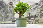 Gorgeous Shohin GREEN ISLAND FICUS Pre Bonsai Tree with ornamental figs