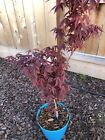Red japanese maple trees 3 Acer Palmatum Atropurpereum Free US Shipping