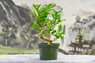 Chinese Import TIGER BARK FICUS Pre Bonsai Great for beginners and Indoors