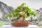 Wigerts Private Collection Top Quality Collected SEA HIBISCUS Bonsai Tree