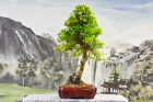 From Wigerts Private Collection Top Quality FIRETHORN Bonsai Tree
