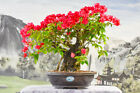 Gorgeous Flowering RED BOUGAINVILLEA Bonsai Tree Flowers Year Rou