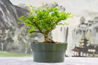Cold Hardy DWARF FIRETHORN Red Elf Pre Bonsai Tree is Last One in Nursery