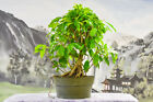 Red New Growth on THAI RED LEAF FIG Pre Bonsai Tree Awesome Nebari