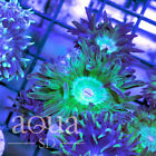 138 WYSIWYG Acid Spill Space Trip Duncan Live Coral
