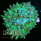 182 WYSIWYG Martian Madness Bubble Anemone Live Coral