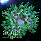 188 WYSIWYG Space Goo Bubble Anemone Live Coral