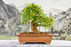Unique Shaped WILLOW LEAF FICUS Bonsai Tree with Large Nebari