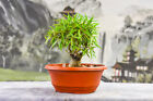 Beautiful Shohin WILLOW LEAF FICUS Pre Bonsai Tree is Great for Beginners