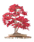 Japanese Maple Bonsai Tree Complete Seed Growing Starter Set Beginners Plant Kit