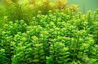 Bunched Rotala Indica Live Aquarium Plant Indian Toothcup Plants Rotundifolia
