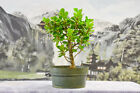 Gorgeous GREEN ISLAND FICUS Pre Bonsai Tree w Round Leaves  Ornamental Figs