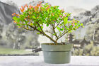 Flowering CHINESE SWEET PLUM Pre Bonsai Tree with Orange New Growth
