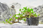 Cascade BUTTONWOOD Pre Bonsai Tree with Deadwood for Carving