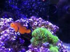 Naked Clownfish female - Local Pickup Only San Jose CA