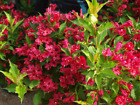 RUBY RED WEIGELA Weigela rubrun