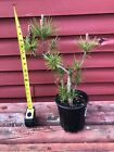 16 Japanese Black Pine Pre Bonsai Tree
