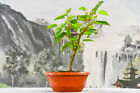 Fruitful DWARF MULBERRY Pre Bonsai Tree Produces Sweet Red Berries