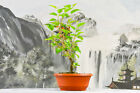 Easy to Grow DWARF MULBERRY Pre Bonsai Tree with Red Berries Shohin Material