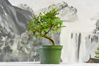 WindingTrunk on CHINESE ELM Pre Bonsai Tree with Fall Interest Cold Hardy