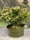 WOW SINGAPORE HOLLY Pre Bonsai Exploding With flowers Great Bloomer
