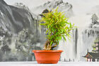 Wonderful WILLOW LEAF FICUS Pre Bonsai Tree is Great for Beginners