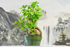 Cool CRATER FIG FICUS Pre Bonsai Great for Root over Rock Styling