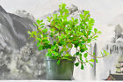 Lively CONGO FIG FICUS Pre Bonsai Great for Indoor or Outdoor