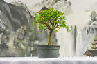 Shohin CHINESE ELM Pre Bonsai Tree w Fall Interest Cold Hardy S curve trunk