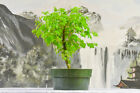Lovely BRAZILIAN RAINTREE Pre Bonsai Tree Compound Foliage