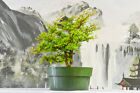 TerrificTriple Trunk DWARF BLACK OLIVE Pre Bonsai Tree Very Tiny Leaves