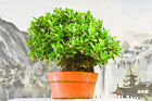 Root Over Rock GREEN ISLAND FICUS Pre Bonsai Tree with Aerial Roots Hardy