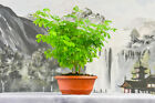 Pleasing BRAZILIAN RAINTREE Forest Pre Bonsai Tree Group Planting of 3