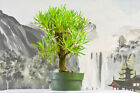 Hardy NARROW LEAF BUTTONWOOD Pre Bonsai Tree With Deadwood Tropical Favorite