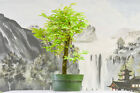 Graceful TROPICAL MAHOGANY Pre Bonsai Tree Produces Red Petioles on New Growth