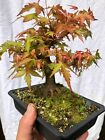 Shohin Japanese Maple pre bonsai with Uro naturalistic
