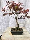Red leaf Shohin Mame Japanese Maple pre bonsai  informal upright