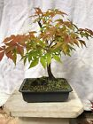 Shohin Japanese Maple pre bonsai  Osakazuki